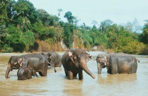 Gajah-gajah jinak Tangkahan