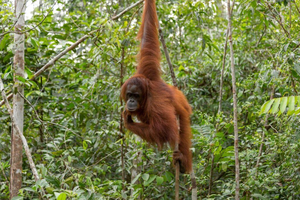 Seekor orangutan di hutan TN Gunung Leuser