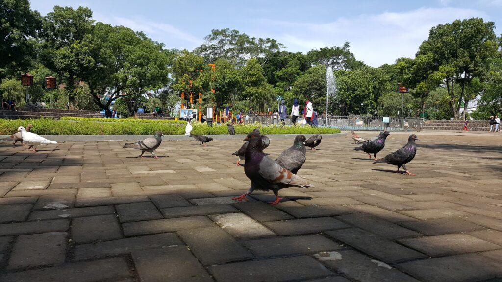 burung merpati berkeliaran di taman alun-alun malang