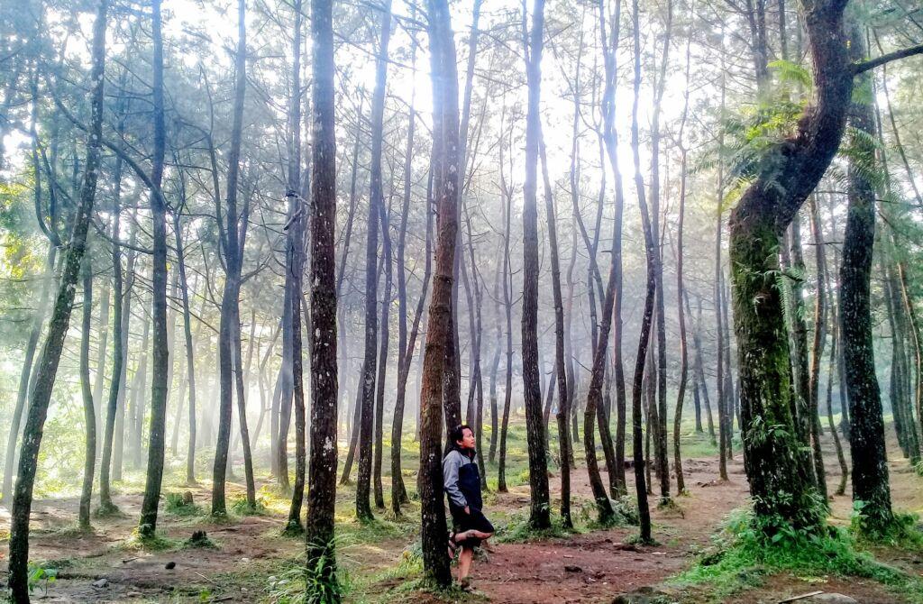 Jajaran Pohon Pinus Indah di Kawasan Air Terjun