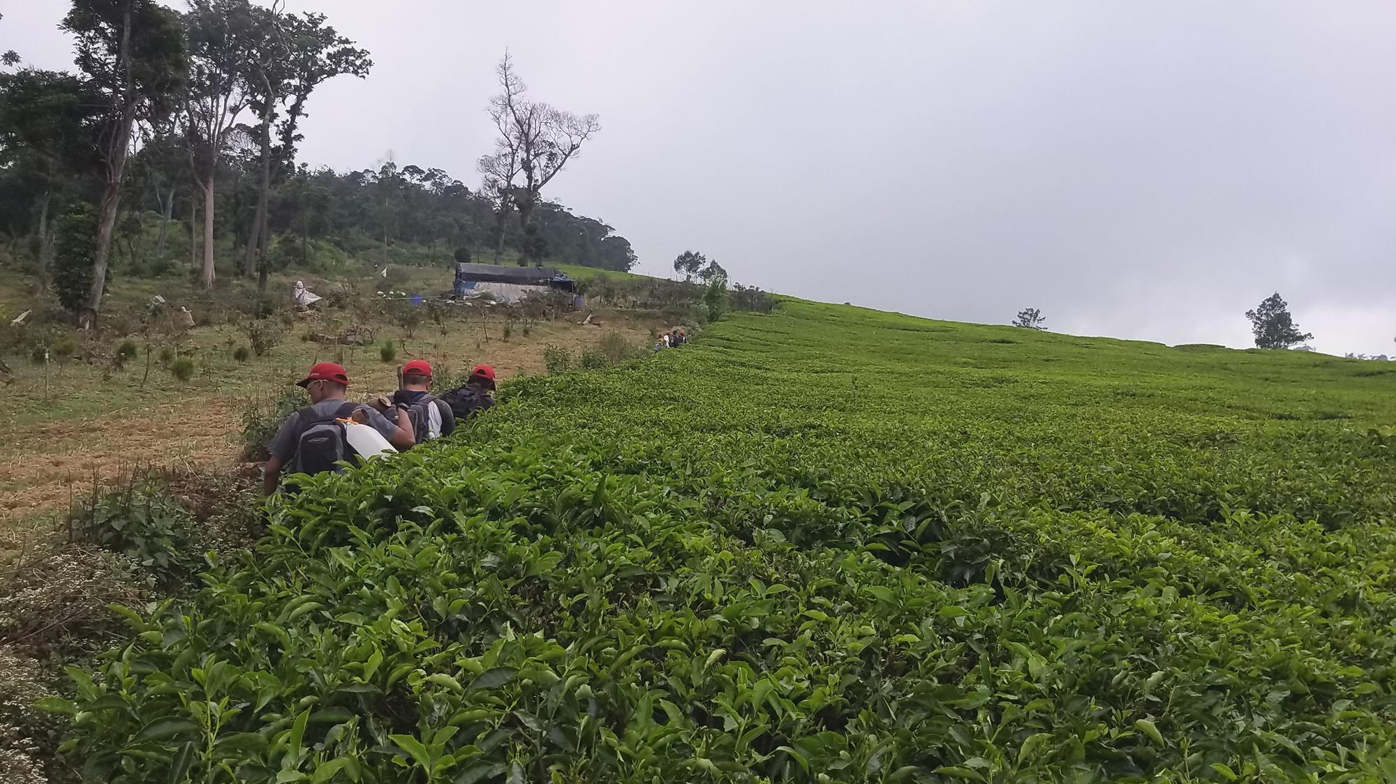 Perkebunan teh Patuahwattee