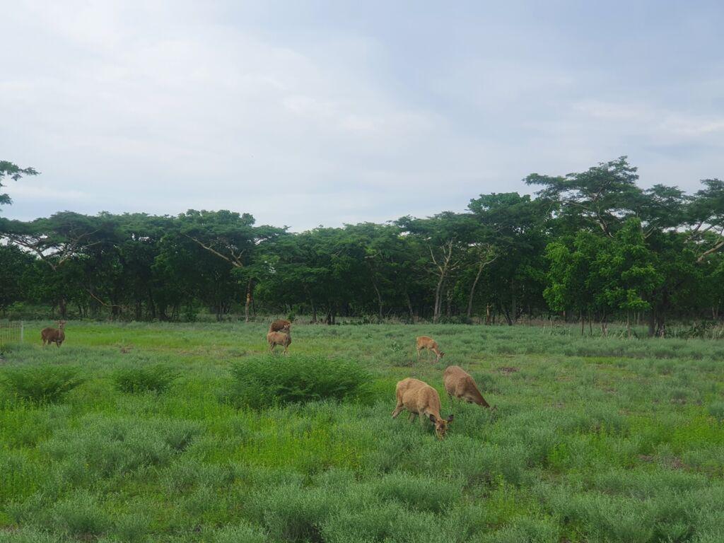 Rusa-rusa sedang mencari makan