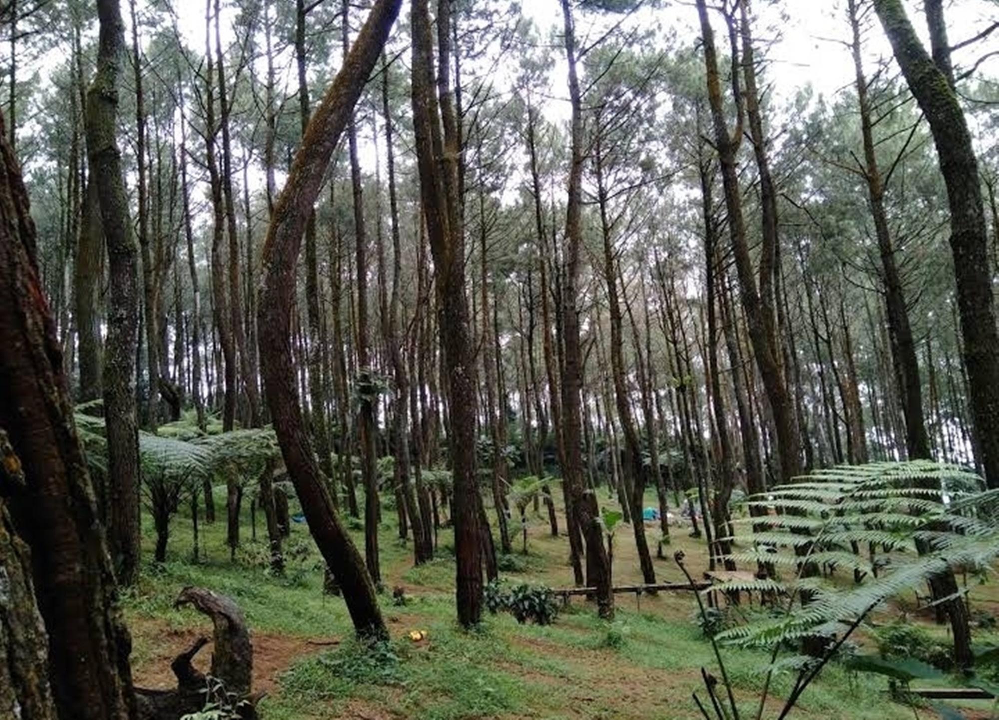 Hutan pinus Ujung Aspal Wanayasa